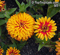 Zinnia sp., Zinnia  Click to see full-size image