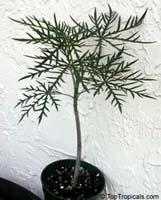 Jatropha multifida, Adenoropium multifidum, Jatropha Tree  Click to see full-size image