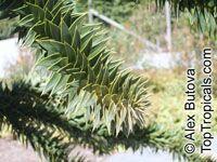 Araucaria araucana, Araucaria imbricata, Monkey Puzzle Tree, Chilean Pine  Click to see full-size image