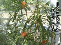 Beaufortia sparsa, Swamp bottlebrush  Click to see full-size image
