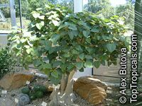 Ficus petiolaris, Rock Fig, Rock Ficus, Texcalamate, Lava Fig  Click to see full-size image
