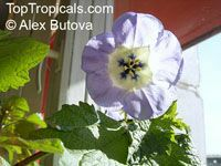 Nicandra physaloides, Shoo-Fly Plant