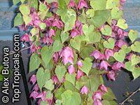 Rhodochiton atrosanguineum, Purple Bell Vine  Click to see full-size image