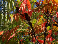Rhus sp., Sumac  Click to see full-size image