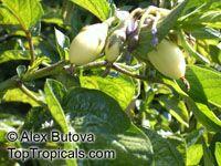 Solanum muricatum, Pepino Melon  Click to see full-size image