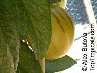 Solanum muricatum, Pepino MelonClick to see full-size image