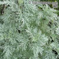Artemisia arborescens, Tree Wormwood
