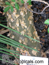 Bursera odorata, Torote Blanco, Elephant Tree  Click to see full-size image