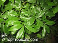 Canella winterana, Winter Cinnamon, Wild Cinnamon  Click to see full-size image