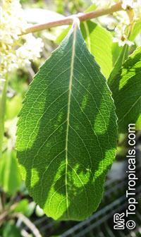 Catha edulis , Bushman's Tea, Ghat, Khat, QatClick to see full-size image