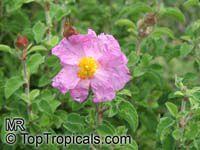 Cistus incanus, Cistus villosus , Hairy Rockrose, Pink RockroseClick to see full-size image