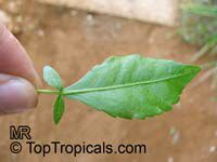 Commiphora abyssinica, Myrrh Tree  Click to see full-size image