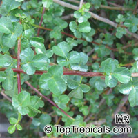 Commiphora sp., Commiphora, Velvet(-leaved) Corkwood.  Click to see full-size image