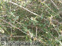 Commiphora sp., Commiphora, Velvet(-leaved) Corkwood.Click to see full-size image