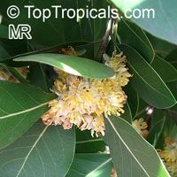 Laurus nobilis - Bay Leaf, 3 gal pot