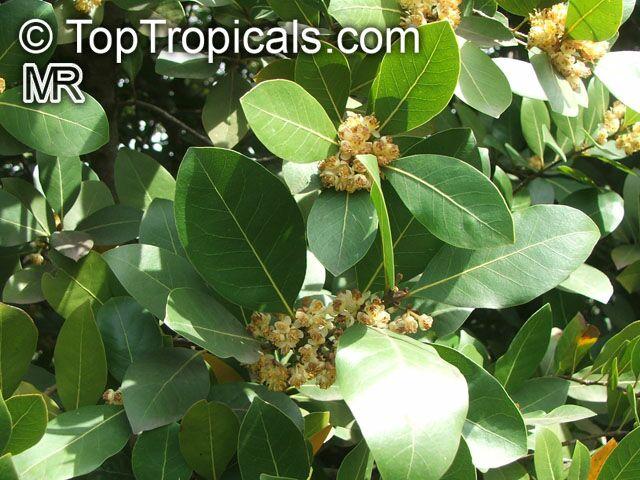 Laurus Nobilis Bay Leaf Toptropicals Com
