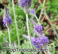Lavandula multifida, French Lace Lavender