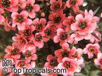 Leptospermum scoparium, Manuka, New Zealand Tea Tree  Click to see full-size image