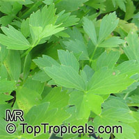 Levisticum officinale, Lovage, Love Parsley   Click to see full-size image
