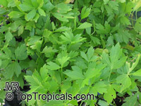 Levisticum officinale, Lovage, Love Parsley 