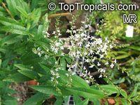 Lippia citriodora, Aloysia citriodora, Verbena citriodora, Verbena triphylla, Lemon-scented verbena, lemon Luisa  Click to see full-size image