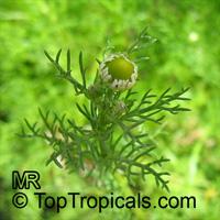 Matricaria recutita, Matricaria chamomilla, Camomile, German Chamomile  Click to see full-size image