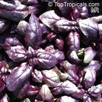 Ocimum basilicum, Basilie, Basil, Sweet Basil, Holy Basil, Tulsi PlantClick to see full-size image