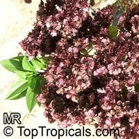 Ocimum tenuiflorum, Ocimum sanctum, Holy basil, Thai Basil, Holy Basil, Tulsi PlantClick to see full-size image