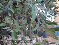 Olea europea, Olive  Click to see full-size image