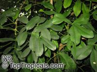Pilocarpus pennatifolius, Paraguay Jaborandi  Click to see full-size image