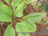 Piper longum , Bengal Pepper, Indian Long Pepper   Click to see full-size image