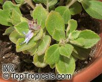 Plectranthus Lois Woodhull, Plectranthus neochilus, Lobster Flower   Click to see full-size image