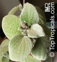 Plectranthus argentatus, Silver Plectranthus  Click to see full-size image