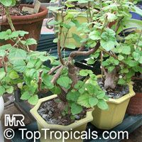 Plectranthus ernstii, Caudiciform Plectranthus  Click to see full-size image