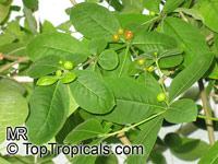 Rauvolfia serpentina, Indian Snakeroot, Sarpagandha  Click to see full-size image