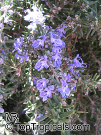 Rosmarinus officinalis, Rosemary