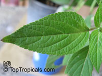 Salvia elegans, Pineapple Sage, Pineapple Scented SageClick to see full-size image