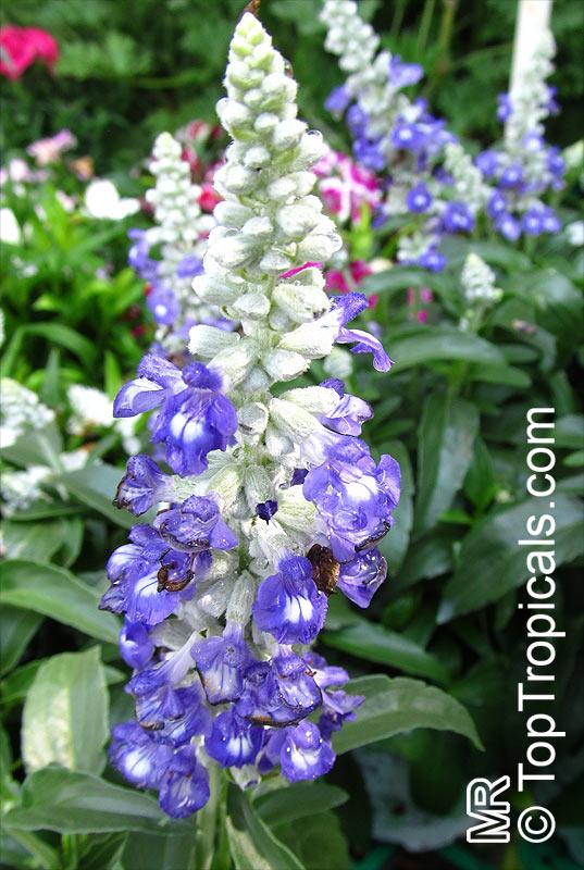Salvia Farinacea Mealy Sage Toptropicals Com