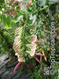 Salvia lanceolata, Rusty Sage, Lance-leaf Sage Click to see full-size image