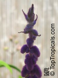 Salvia leucantha, Mexican Bush Sage, Mexican Sage, Velvet Sage  Click to see full-size image