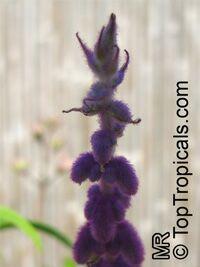 Salvia leucantha, Mexican Bush Sage, Mexican Sage, Velvet SageClick to see full-size image