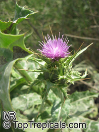 Silybum marianum, Carduus marianus, Mary Thistle, Milk Thistle