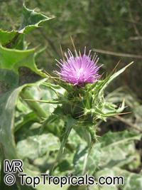 Silybum marianum, Carduus marianus, Mary Thistle, Milk Thistle  Click to see full-size image