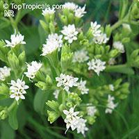 Stevia rebaudiana, Eupatorium rebaudianum, Stevia, Sweet leaf of Paraguay, Sweet-herb, Honey yerba, Honeyleaf, Candy leaf  Click to see full-size image