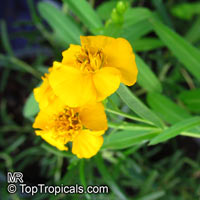 Tagetes lucida, Mexican Tarragon  Click to see full-size image