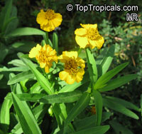 Tagetes lucida, Mexican TarragonClick to see full-size image