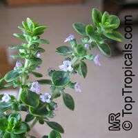 Thymus citriodorus, Lemon Thyme  Click to see full-size image