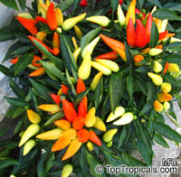 Capsicum annuum, Sweet Pepper, Chilli Pepper, Cayenne Pepper, Paprika, Ornamental pepper