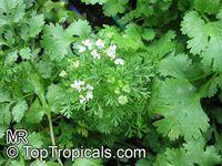 Coriandrum sativum, Coriander, Cilantro, Ketumbar  Click to see full-size image