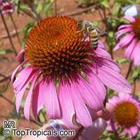 Echinacea purpurea - seeds  Click to see full-size image